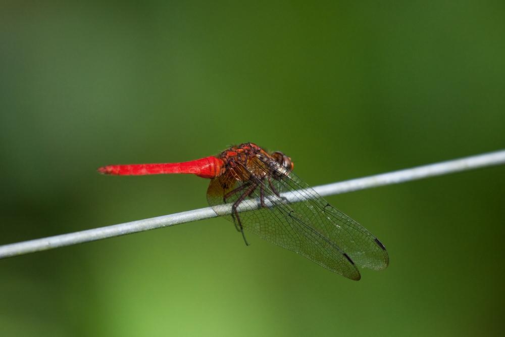 Orange skimmer dragonfly (Orthetrum testaceum)