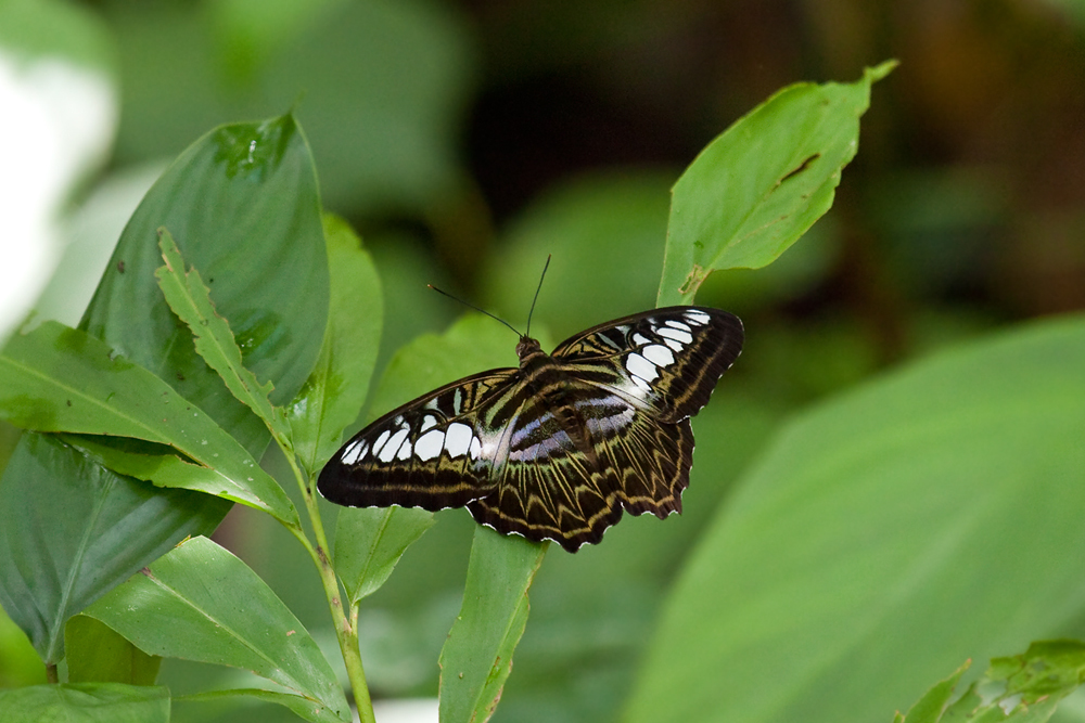 The Clipper (Parthenos sylvia)