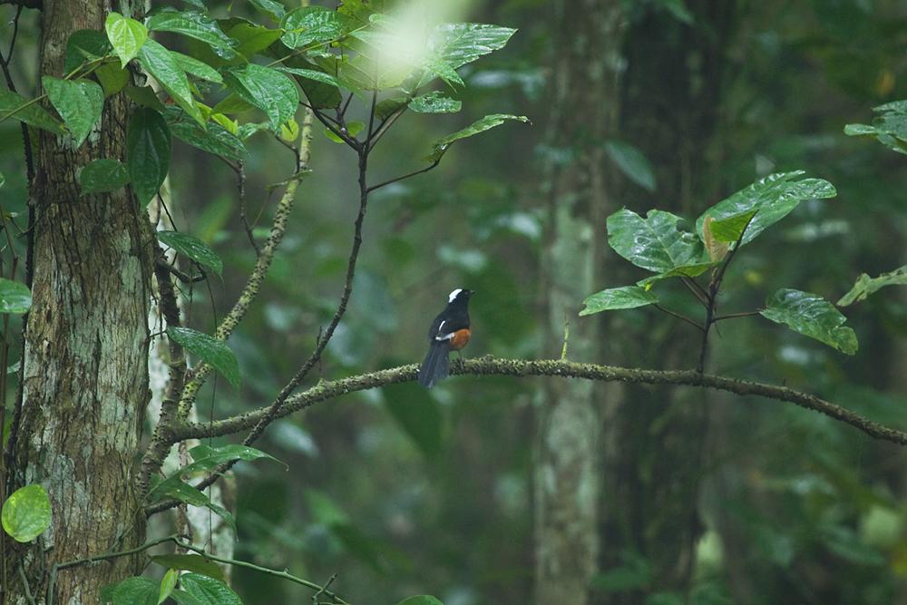 Белошапочный шама-дрозд (Copsychus stricklandii)