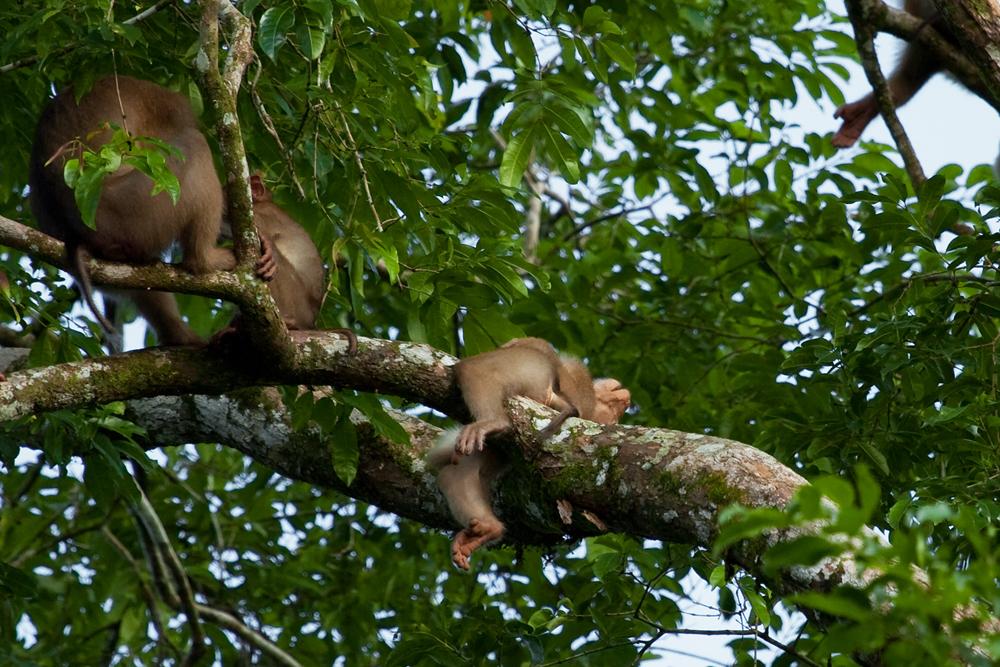 Лапундер (Macaca nemestrina)
