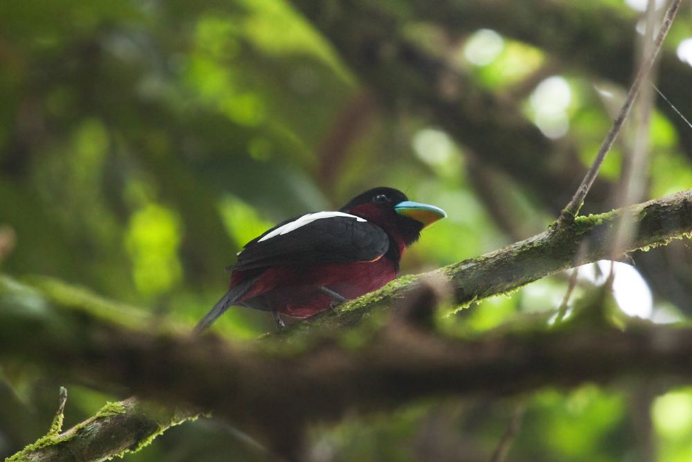 Красно-чёрный ширококлюв (Cymbirhynchus macrorhynchos)