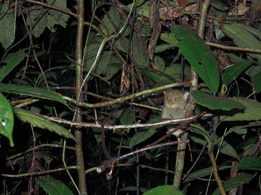 Западный долгопят (Cephalopachus bancanus)