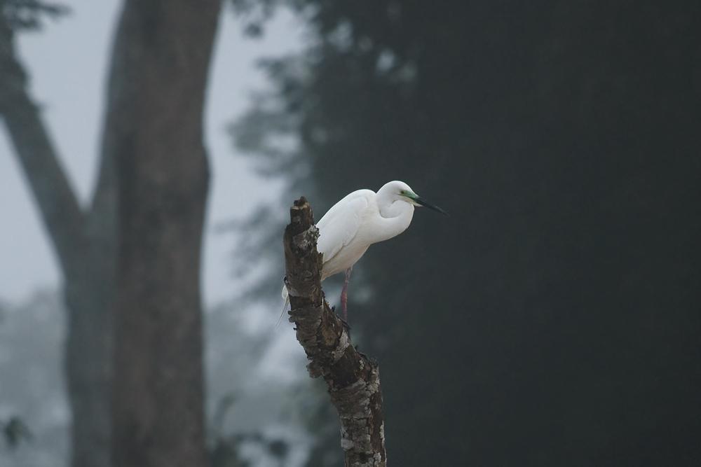 Средняя белая цапля (Mesophoyx intermedia)