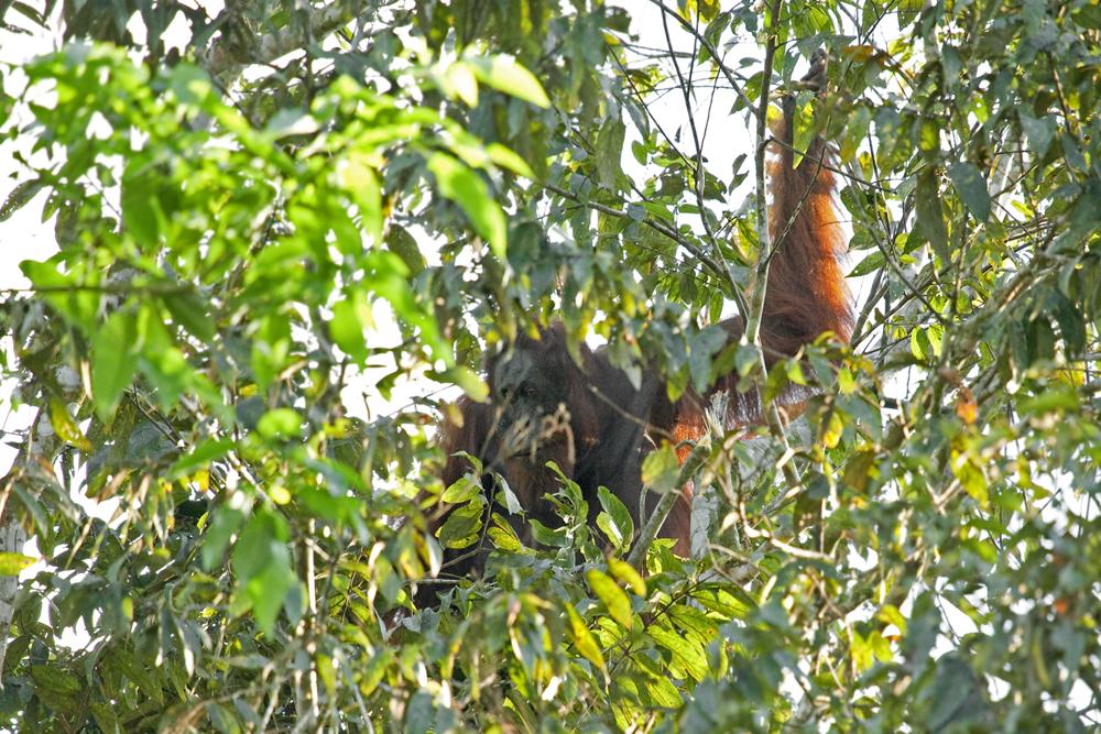 Орангутан (Pongo pygmaeus)