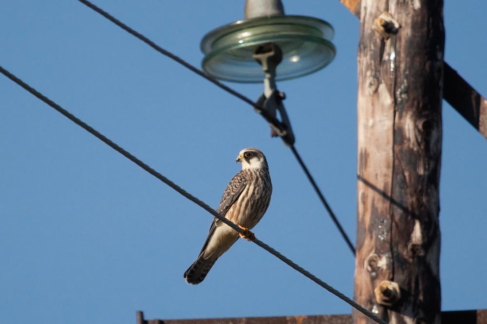 Кобчик (Falco vespertinus)