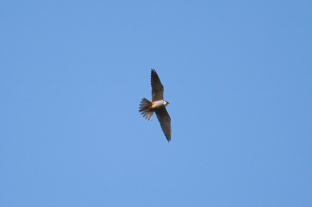 Чеглок (Falco subbuteo)