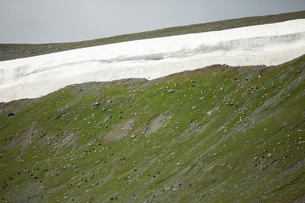 Овцы под снежником