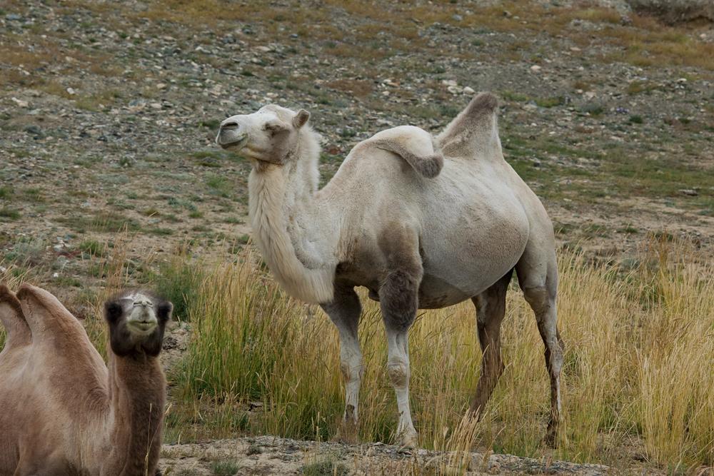 Бактриан (Camelus bactrianus)