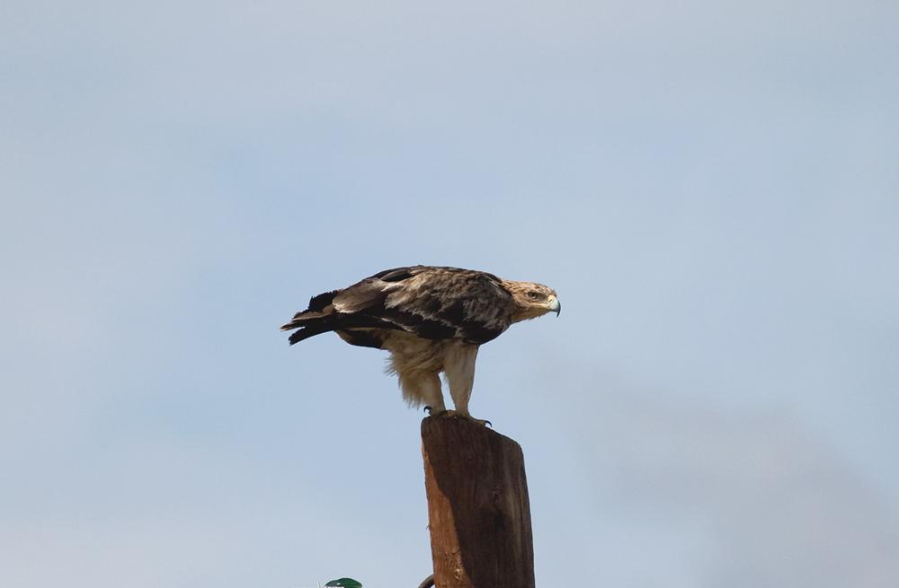 Могильник (Aquila heliaca)