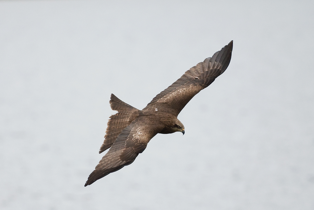 Черноухий коршун (Milvus lineatus)