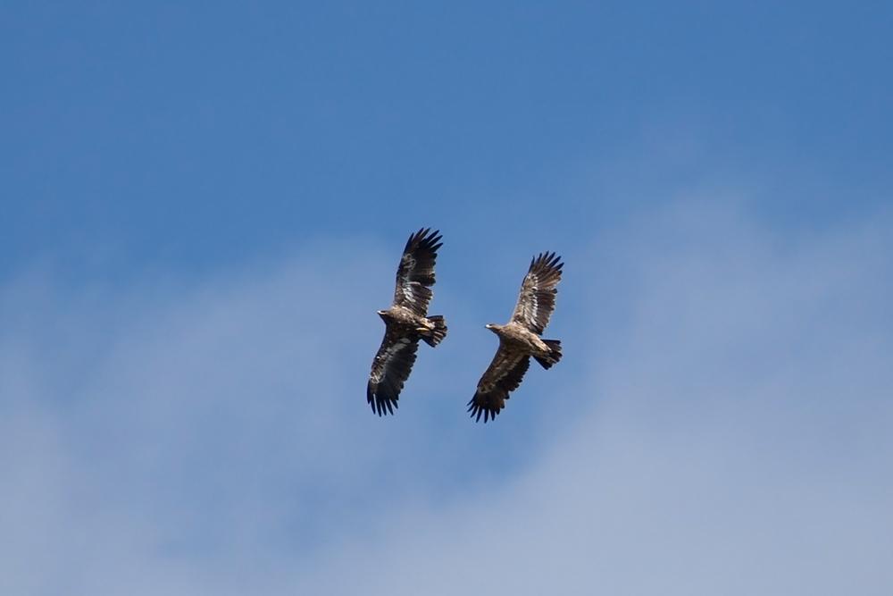 Степные орлы (Aquila nipalensis)