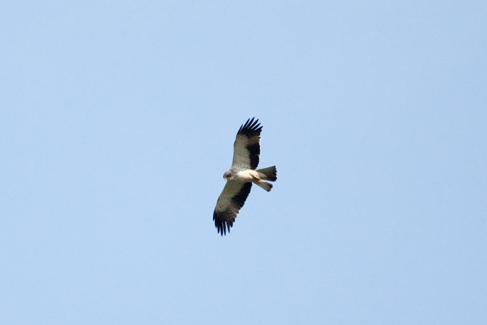 Орёл-карлик (Hieraaetus pennatus)