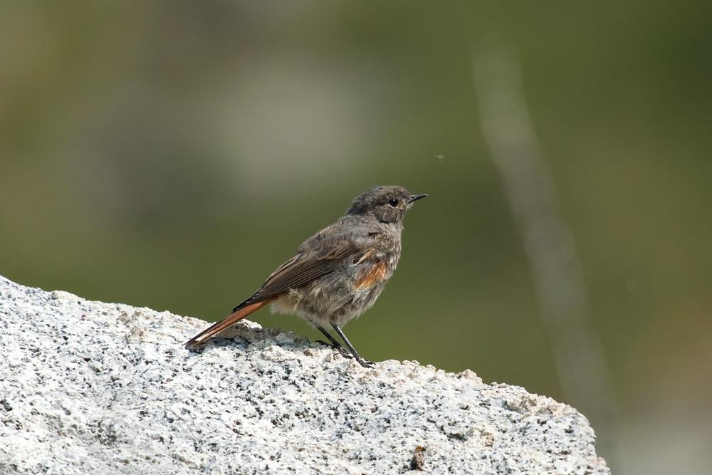 Горихвостка-чернушка (Phoenicurus ochruros)