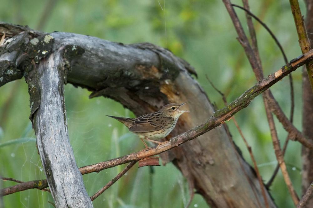 Обыкновенный сверчок (Locustella naevia)