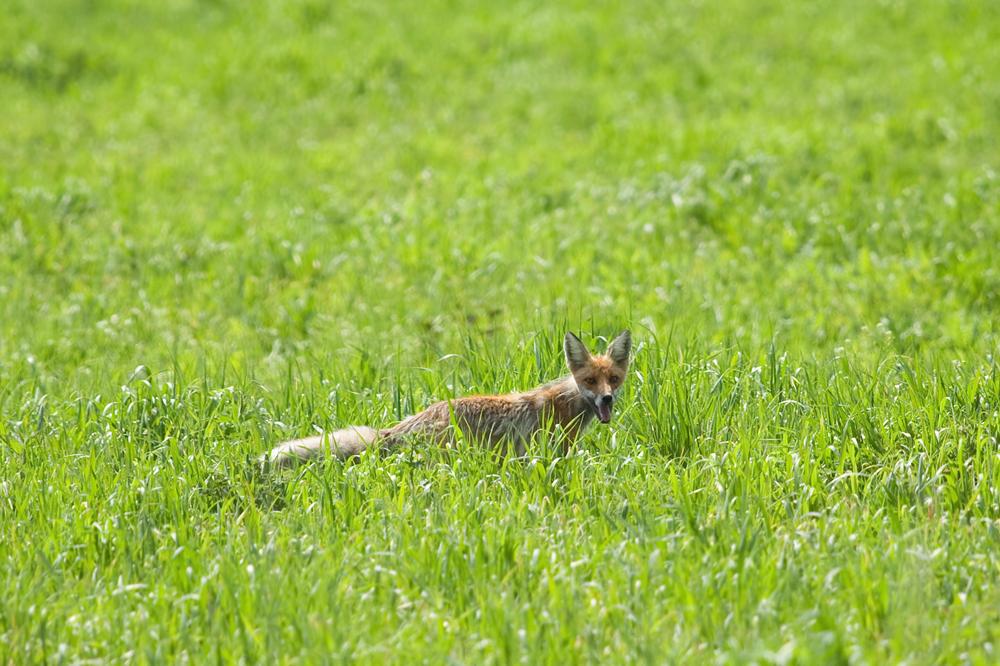 Рыжая лисица (Vulpes vulpes)