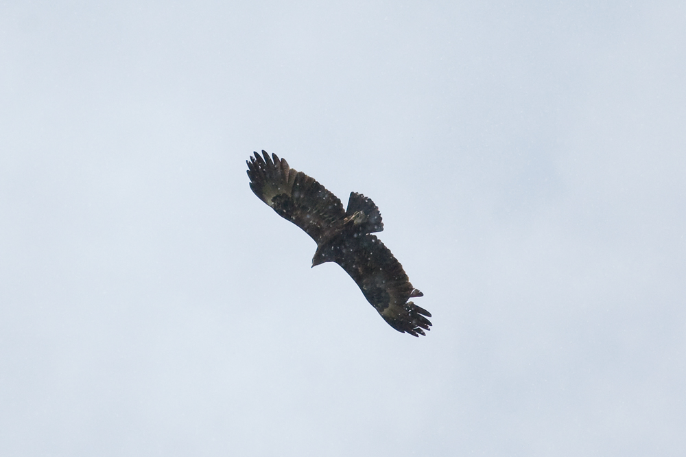 Большой подорлик (Aquila clanga)