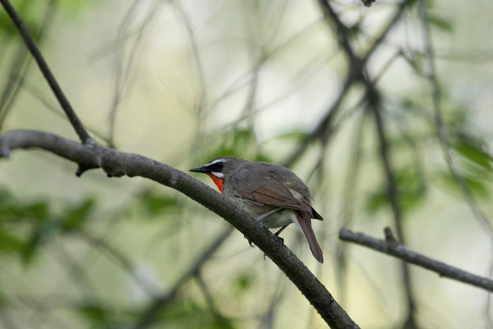 Соловей-красношейка (Luscinia calliope)