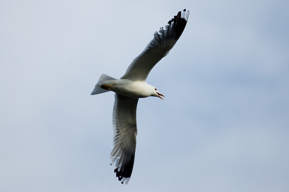 Сизая чайка (Larus canus)