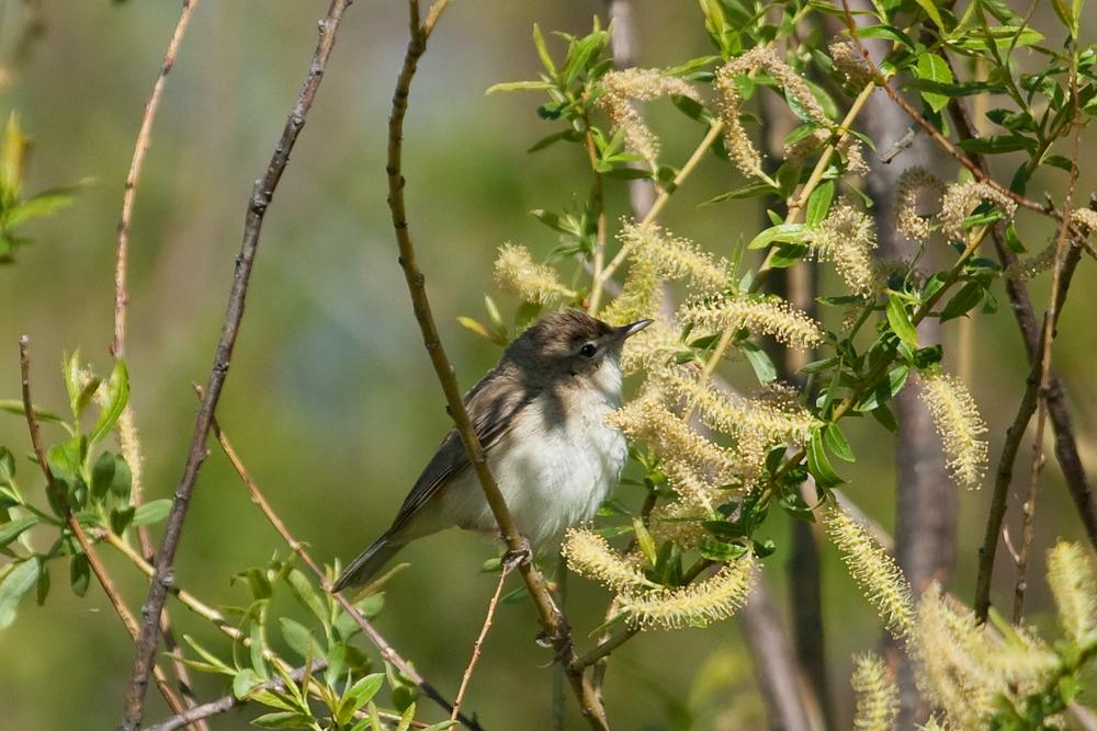 Северная бормотушка (Iduna caligata)