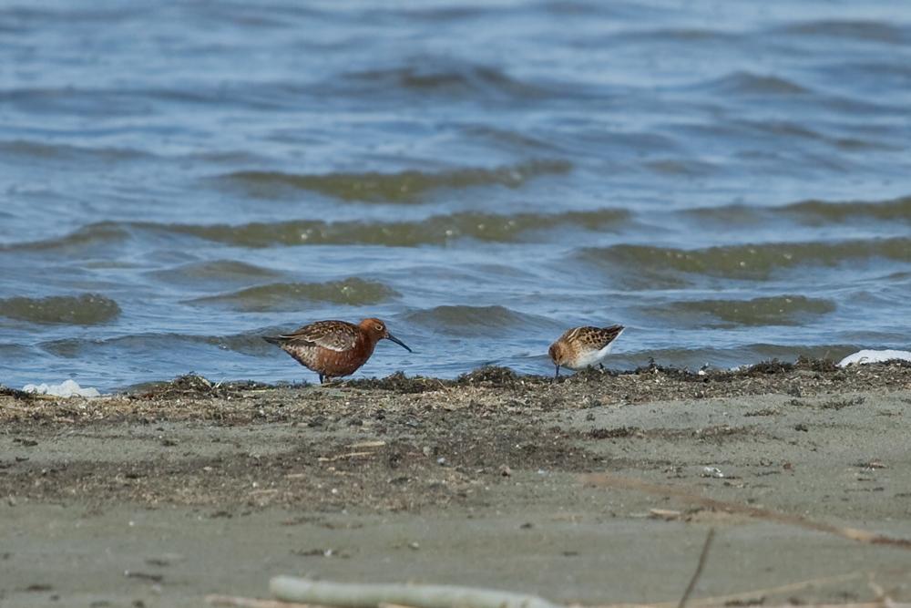 Краснозобик (Calidris ferruginea) и Кулик-воробей (Calidris minuta)