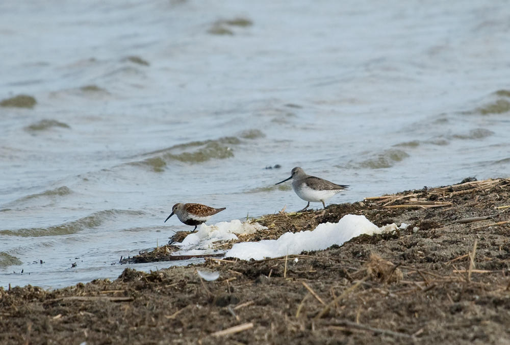 Мородунка (Xenus cinereus) и Чернозобик (Calidris alpina)