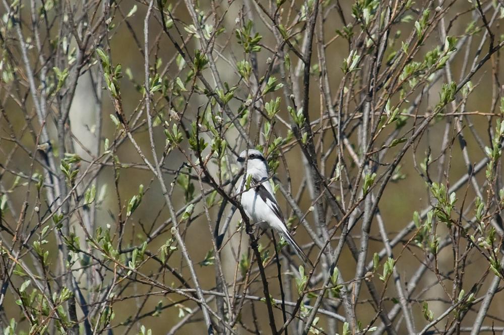 Серый сорокопут (Lanius excubitor)
