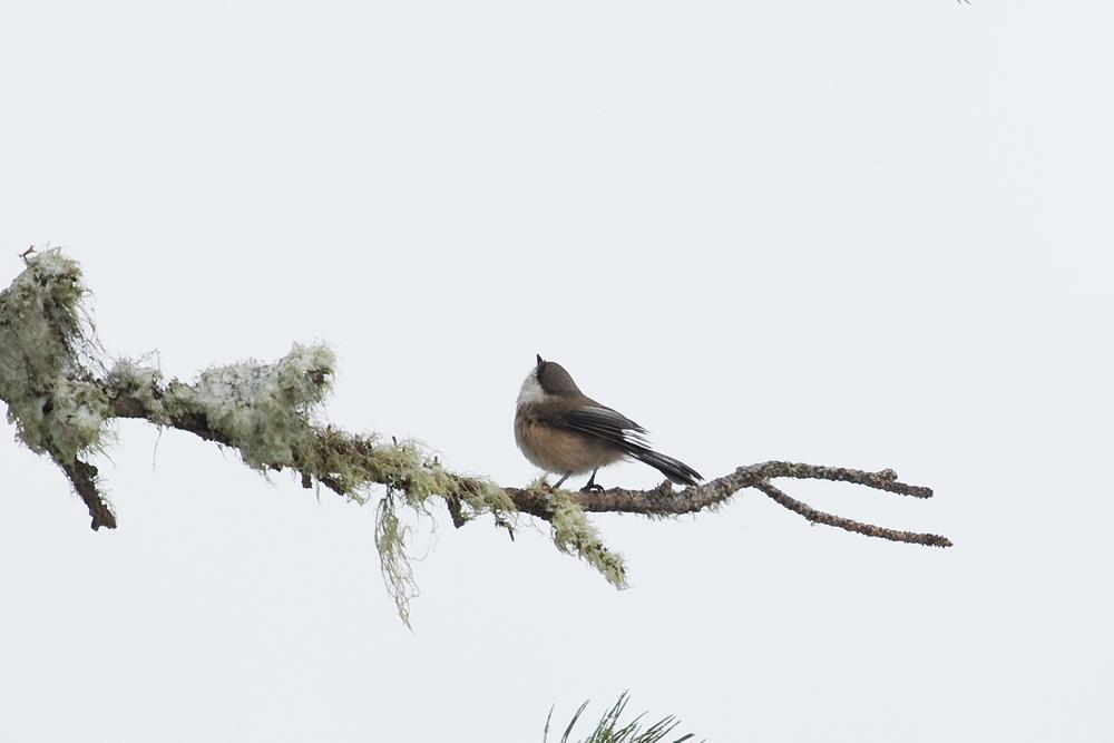 Сероголовая гаичка (Poecile cinctus)