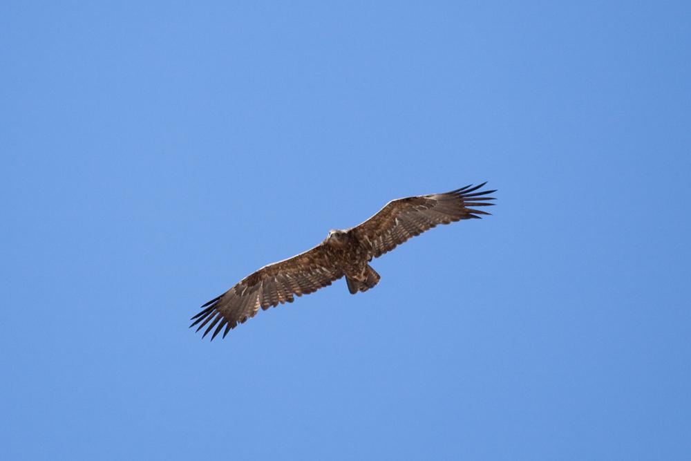 Восточний степной орёл (Aquila nipalensis)