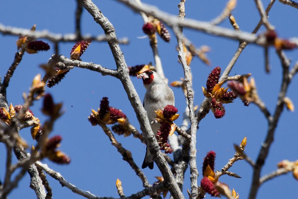 Седоголовый щегол (Carduelis caniceps)