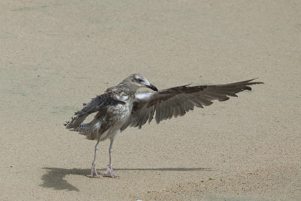 Доминиканская чайка (Larus dominicanus)