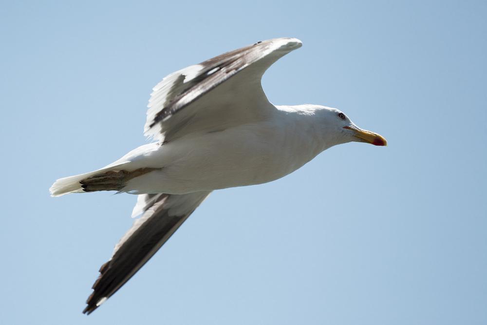 Доминиканская чайка(Larus dominicanus)