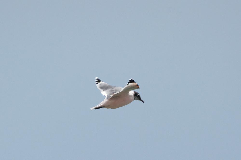 Франклинова чайка (Leucophaeus pipixcan)