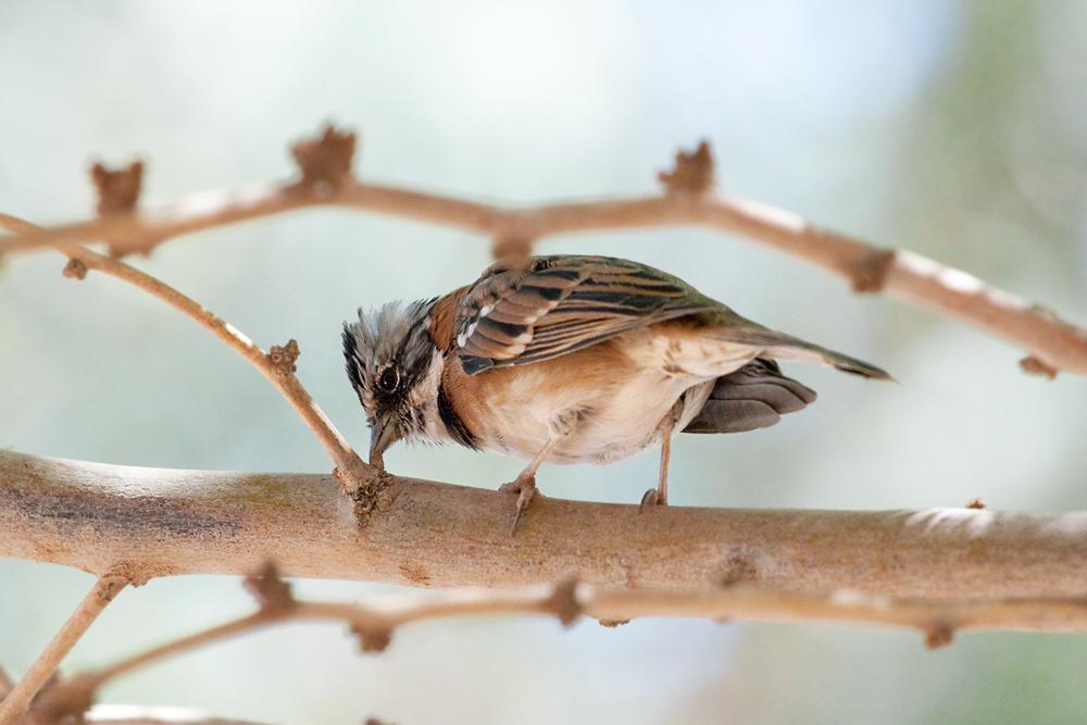 Рыжеошейниковая овсянка (Zonotrichia capensis)