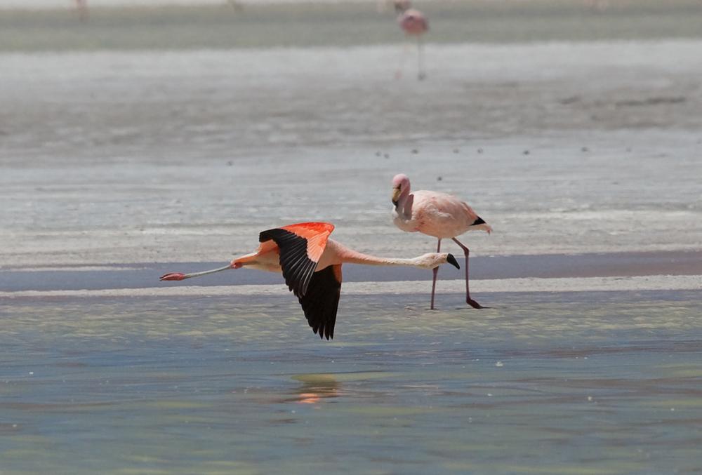 Чилийский фламинго и Фламинго Джеймса