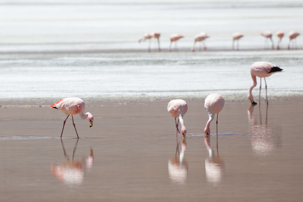 Три Фламинго Джеймса и один Андский фламинго