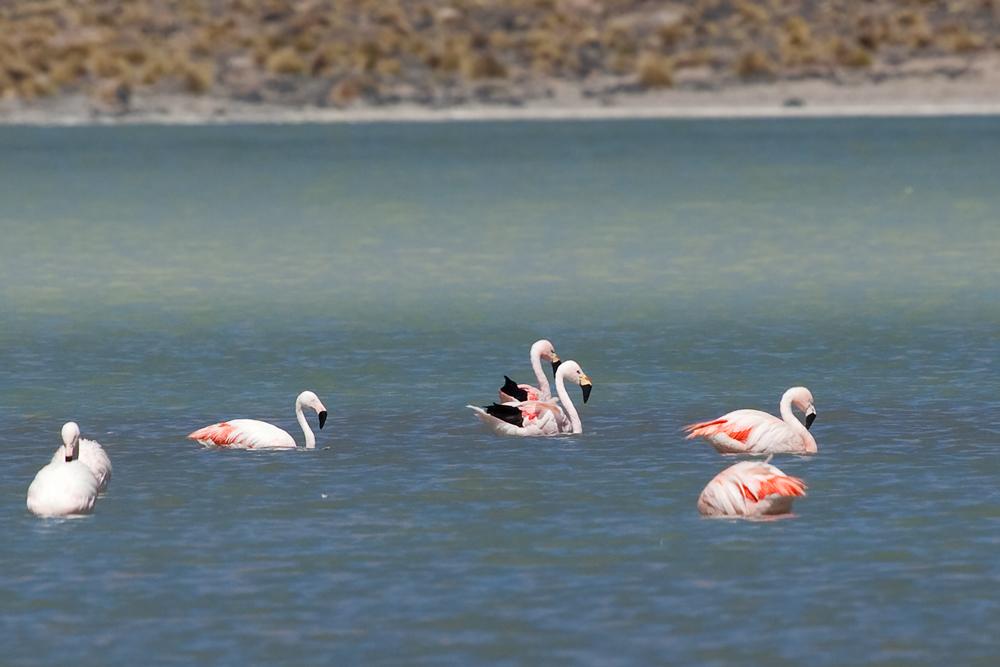 Чилийские фламинго и два Андских фламинго