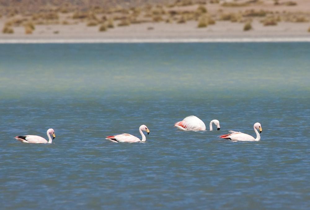 Три Фламинго Джеймса и один Чилийский фламинго