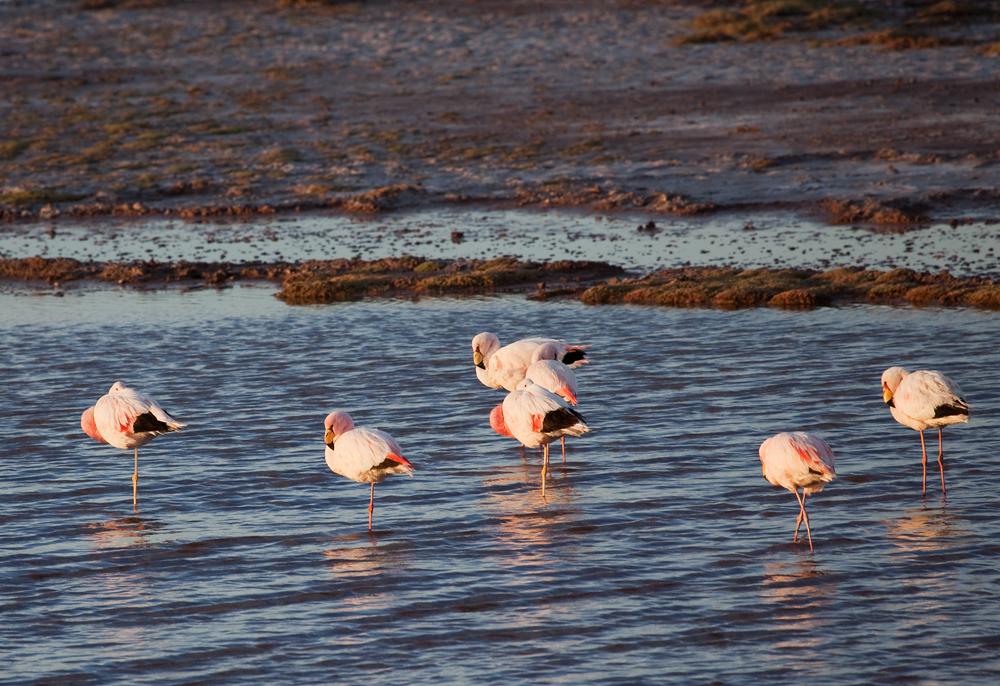 Пять Фламинго Джеймса и два Андских фламинго