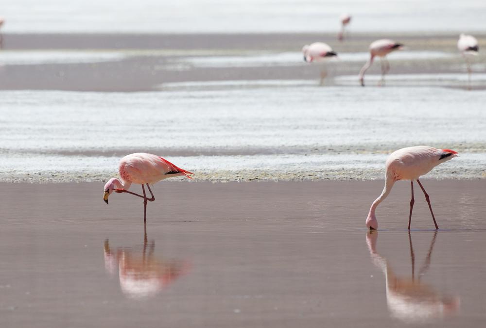 Фламинго Джеймса (Phoenicoparrus jamesi)