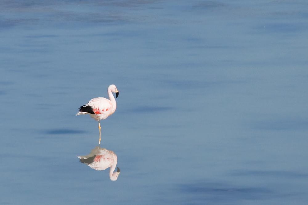 Андский фламинго (Phoenicoparrus andinus)