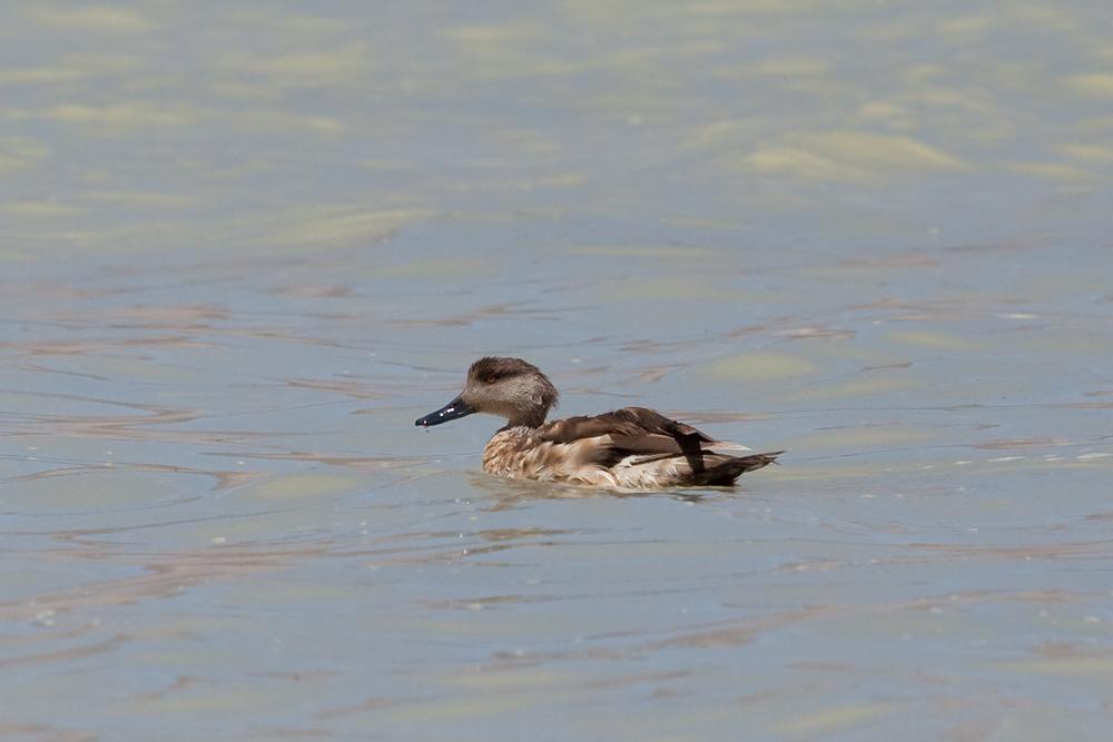 Хохлатая утка (Lophonetta specularioides)