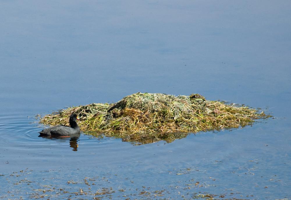Гигантская лысуха (Fulica gigantea)