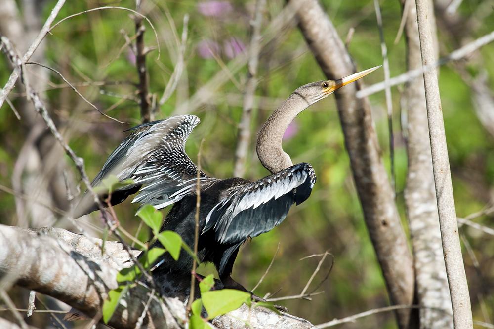 Американская змеешейка (Anhinga anhinga)