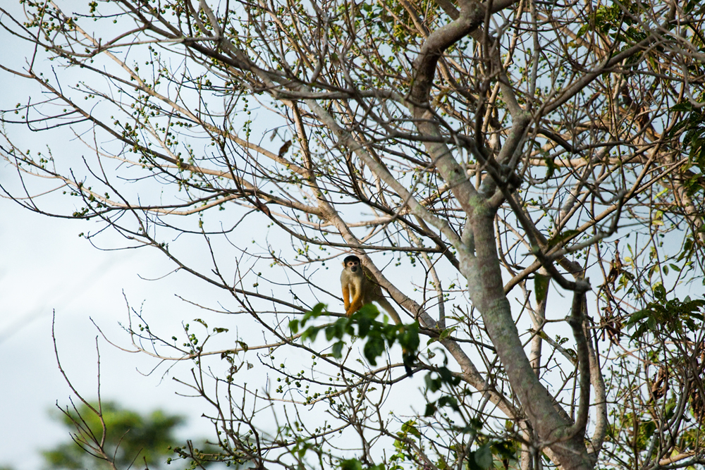 Боливийский саймири (Saimiri boliviensis)
