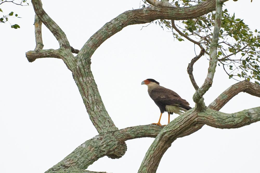 Обыкновенная каракара (Caracara plancus)