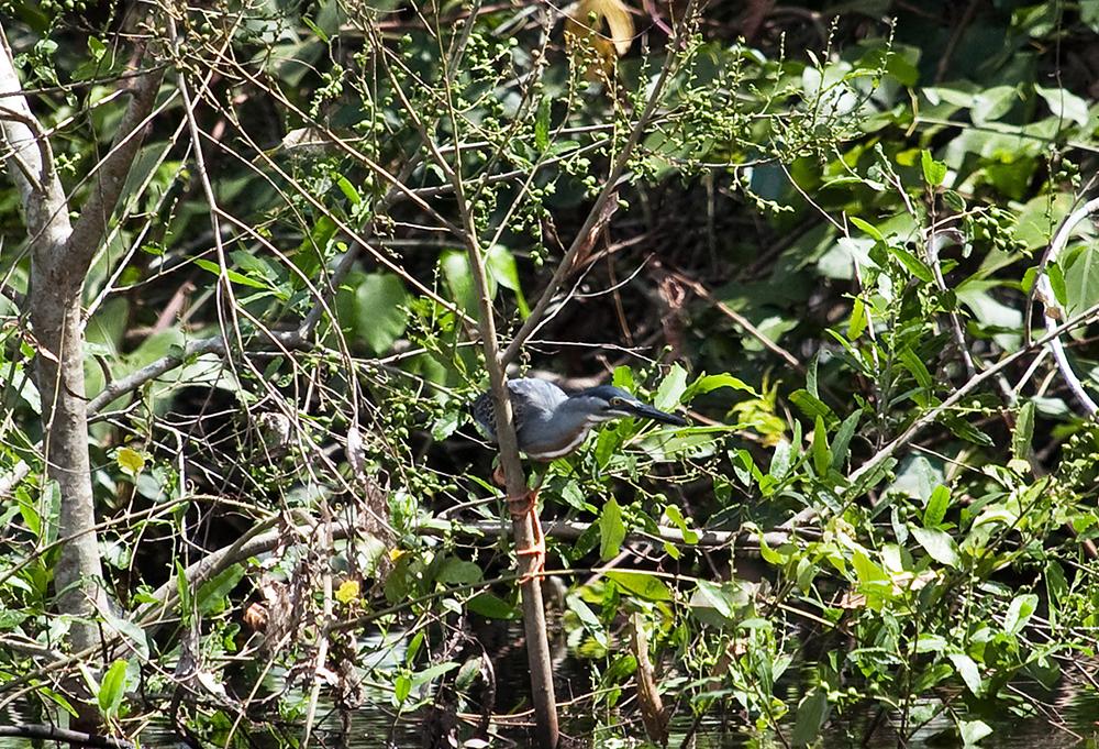 Зелёная кваква (Butorides striata)