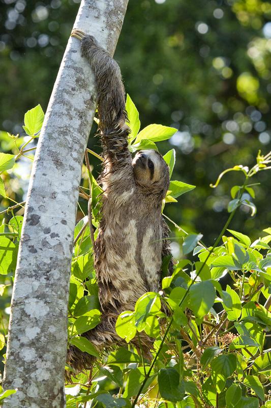 Бурогорлый ленивец (Bradypus variegatus)