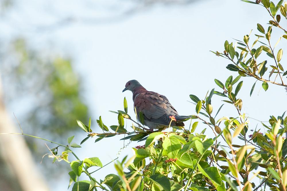 Рыжий голубь (Patagioenas cayennensis)