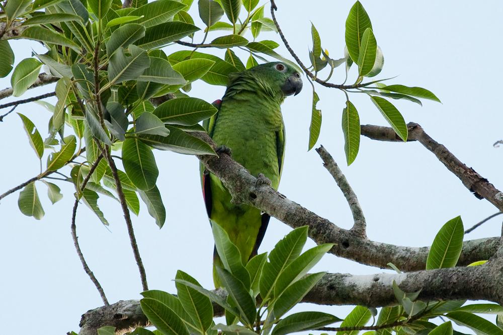 Мюллеров амазон (Amazona farinosa)