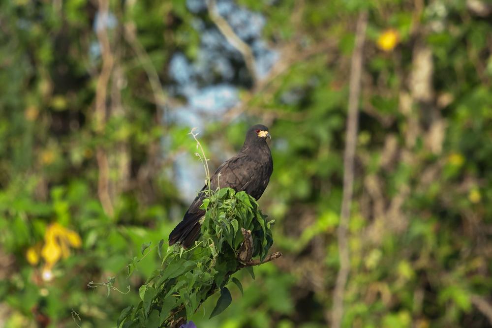 Общественный коршун-слизеед (Rostrhamus sociabilis)